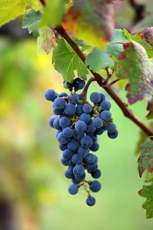 velvety: Photo closeup of beautiful heavy ripen bunch of velvety black grapes sweet juicy fruit hanging on grapevine green and red leaves vine on blurred background, vertical picture