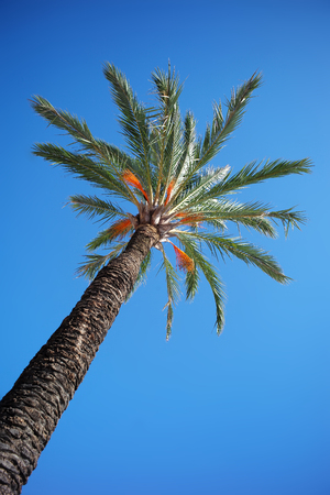day time: Photo closeup of one beautiful tropical green tall straight palm tree with large evergreen leaves against bright blue sky day time on natural background, vertical picture