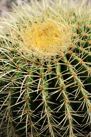 spines: Photo closeup barrel cactus golden ball mother-in-laws cushion rough spherical globe shape with sharp long yellow spines thorns on green background, vertical picture