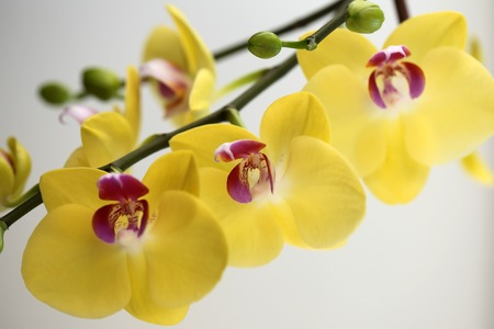 Amazing fresh blossoming colorful yellow orchidea showy shaped houseplant flower floral decoration natural beauty vivid gift for birthday bright design of card on white background closeup, horizontal Stock Photo