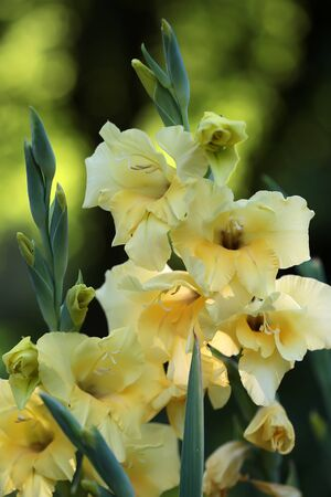 sward: Beautiful fresh graceful yellow fresh gladiolus cornflag flower fresh splendid sward plant in blossom beauty of nature closeup on blur green background outdoor, vertical picture