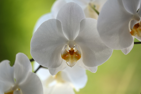 Beautiful amazing tender elegant white blossom of orchid flower decorative exotic plant beauty of nature cute floral wallpaper greeting card on green blur background closeup outdoor, horizontal Stock Photo