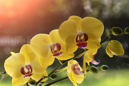 orchidology: Beautiful elegant cute blossom of bright yellow orchid flower exotic tropical plant natural beauty and elegance greeting card wallpaper closeup on sunlight blur background outdoor, horizontal picture
