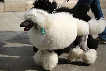 flagstone: Photo of two elegant standard poodles breed dogs pets white and black coat colors continental clip walked on lead along flag-stone pavement on grey urban landscape background, horizontal picture Stock Photo