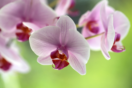 Branch of tender elegant splendid light pink orchid exotic houseplant flower floral natural decor birthday greeting card on green background closeup outdoor, horizontal picture Stock Photo
