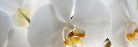 Panoramic image of splendid tender white blossoming orchidea flower exotic tropical plant amazing floral design of wallpaper card natural background closeup, horizontal picture