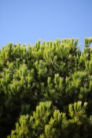 downy: Photo closeup of beautiful evergreen thick thorny green needles on downy fir tree pine twigs over blue sky background, vertical picture Stock Photo