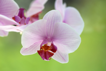 orchidology: Closeup of graceful tender splendid fresh flower of light pink colored orchidea decorative blossoming tropical plant on green background outdoor, horizontal picture