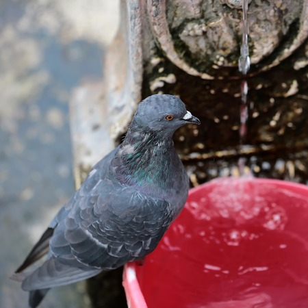 greenish blue: Photo closeup of one blue grey wild pigeon with glossy greenish iridescence around neck wing feathers sitting on fountain basin streams of water flowing dripping on blurred background, square picture