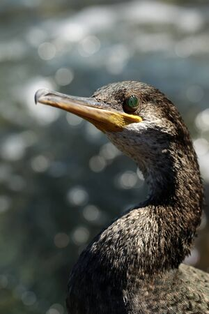 salt water: Photo portrait closeup of one wild grey duck bird with green eyes yellow beak standing at seashore against blue clear sea salt water at sunny day over blurred seascape background, vertical picture