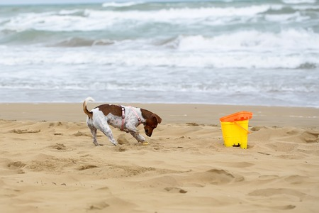selectively: Dog small playing and digging in sand at beach on summer holiday vacation ocean shore on windy murky day on blurred seascape background, horizontal picture Stock Photo
