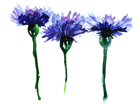Set of three beautiful intense blue colored cornflowers wild flowers on white background watercolor freehand floral illustration artistic backdrop wallpaper greetin invitation postcard fabric textile