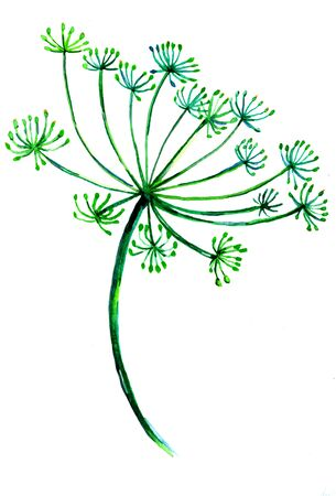 nature one painted: Branch of ripe green dill spice on white background drawing freehand by watercolor paint hand drawing illustration card postcard decor for kitchen design