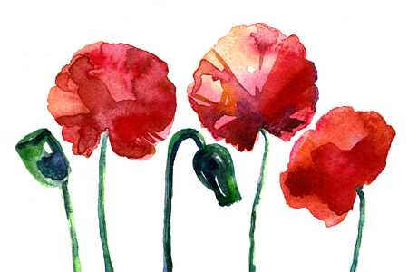 technics: Set of three splendid bright red blossom wild poppy flower on white background illustration painted by hand aquarelle technics romantic design decor for congratulation greeting card artistic backdrop