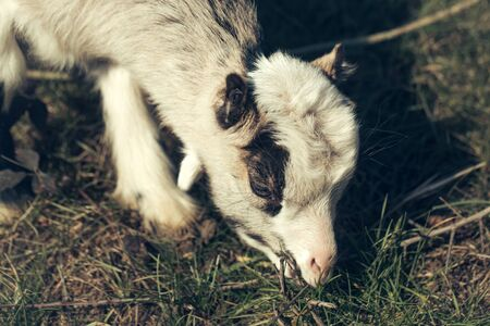 browses: White goat young one eats crops browses grazes fresh grass sepia effect on natural background