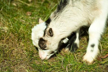 browses: White goat young one eats crops browses grazes fresh green grass sunny day on natural background