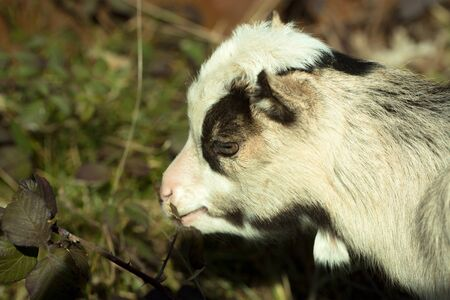 browses: White goat young one eats crops browses grazes fresh green leaves on blurred background