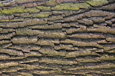 protects: Tree bark texture with green lichens grey outer layer surface cork protects plant on woody background