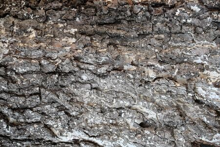 bark texture: Tree bark texture grey outer layer surface cork protects plant on woody background Stock Photo