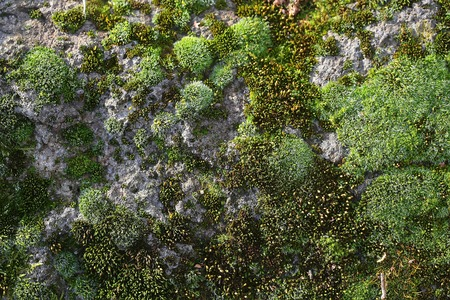 mosses: Green mosses on rock small wild plants  thin green felt dense clumps on natural background Stock Photo