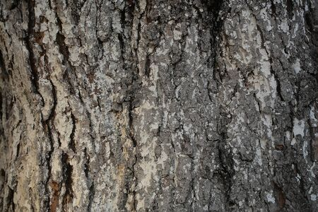 protects: Tree bark texture grey outer layer surface cork protects plant on woody background Stock Photo