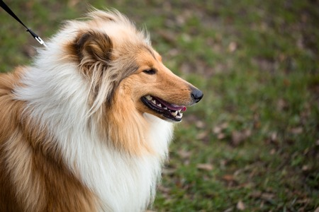 herding dog: Collie Dog is distinctive type of herding dog. The breed originated in Scotland and Northern England