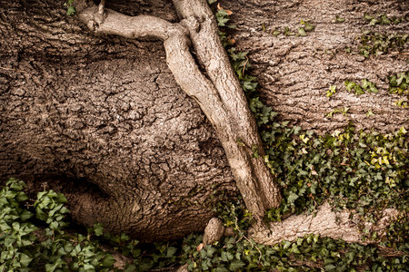 gnarled: Background of textured gnarled deciduous tree roots on relief bark with green vine.