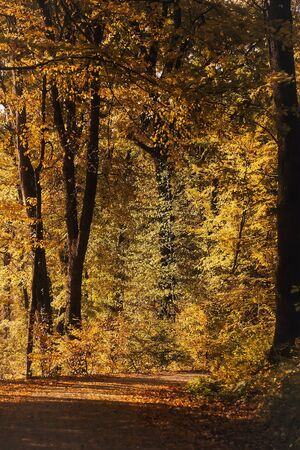 yellow trees: Yellow trees beautiful fall in forest in autumn season