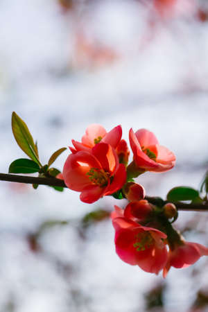 quince: Beautiful quince flowers in blossom Stock Photo