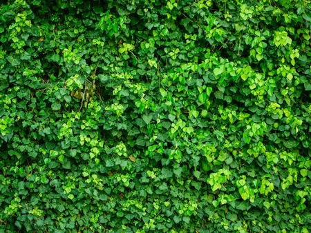 Green wall of Ivy leaves with nobody, natural background