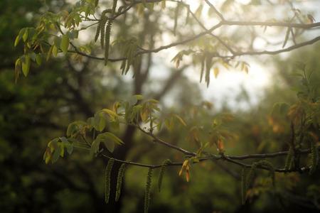 albero nocciola: nocciolo con foglie giovani e amenti in primavera su sfondo naturale Archivio Fotografico