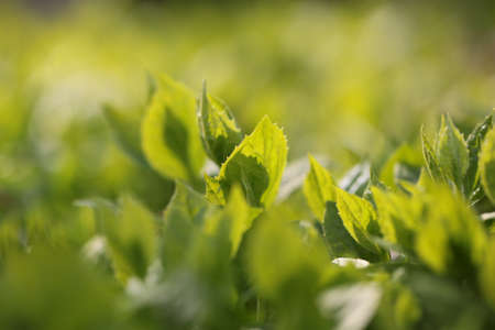 beauties: Young green spring leaves in a bush Stock Photo