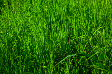 verdure: Green grass young fresh spring plant in spring sunny day on verdure background Stock Photo