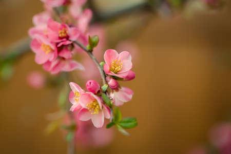membrillo: Hermosas flores de membrillo en flor