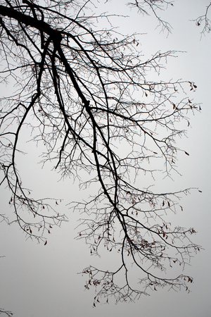 grey  sky: Tree branches bare silhouette on grey sky background Stock Photo