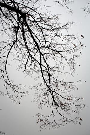 ramas de los árboles silueta desnuda en el fondo cielo gris