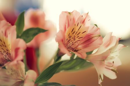 alstromeria: Pink alstromeria with green leaves closeup on light background