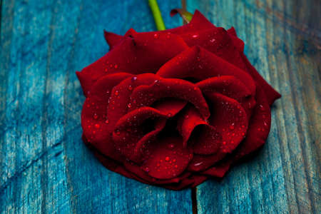 blue petals: Fresh red rose flower with soft petals lying on blue wooden background Stock Photo