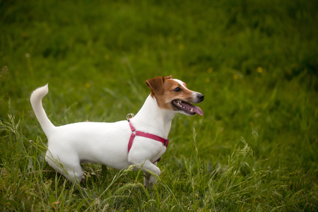 jack russel: cute dog of Jack Russel dog pet white color playing on fresh green grass field on natural background
