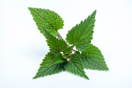 fresh nettle branch with leaves bright green color isolated on white background, copy space