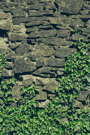 overgrown: Old stone wall overgrown with green ivy on masonry background