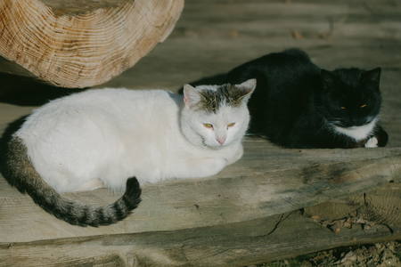 long day: White and black cats on the wooden floor after the long day