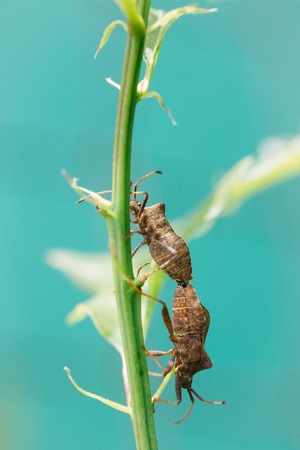 nuptial: Pair of bugs mating during nuptial phase on green plant stem on blue sky background