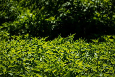 stinging  nettle: Stinging nettle young plants in bright sunlight on wild green meadow background Stock Photo