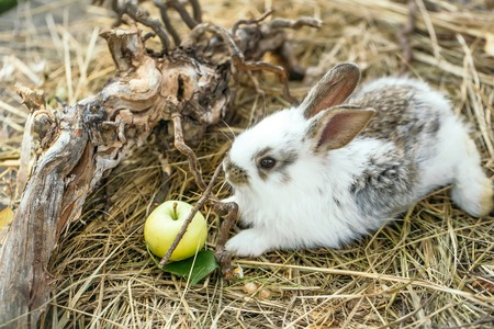 exposed: Cute little bunny rabbit with yellow apple and tree exposed roots on hay on natural background