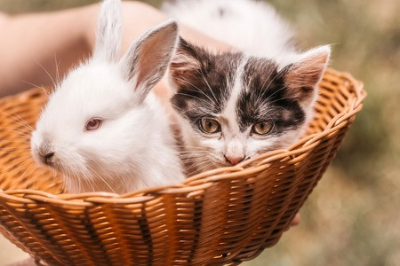 Cute kitten with spotty fluffy fur and little white rabbit bunny domestic animals in wicker bowl with female hand on natural blur background closeup