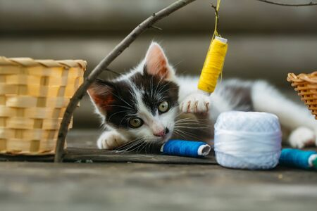 spotted fur: cute small lovely curious baby cat or kitten with white color spotted fur and whiskers playing with thread on twig near straw basket wooden background outdoor