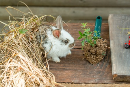 spotted fur: Cute hare with soft spotted fur small shovel with green grass and hay on wooden background Stock Photo