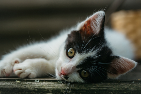 whiskers: cute small lovely curious baby cat or kitten with white color spotted fur and whiskers on wooden board outdoor