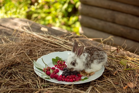 cute fluffy rabbit or hare on plate with wild berries of red and white currant strawberry blackberry and raspberry on straw or hay outdoor in village
